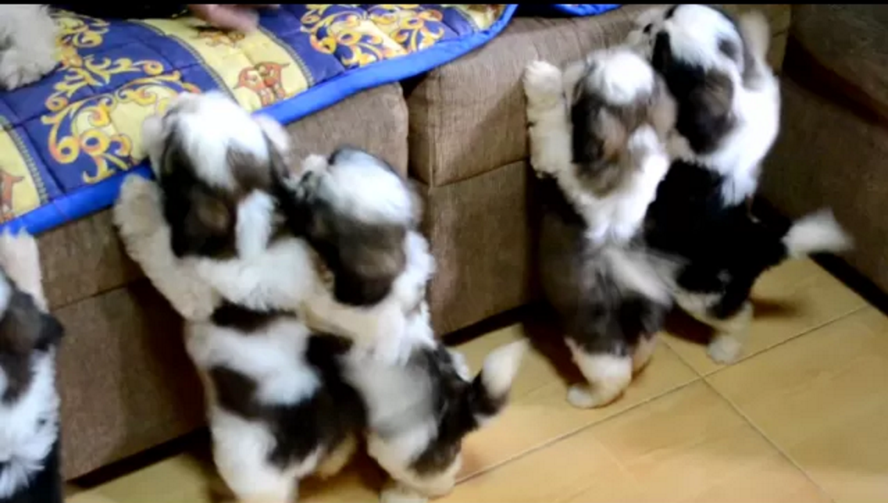 shih tzu puppies after first bath