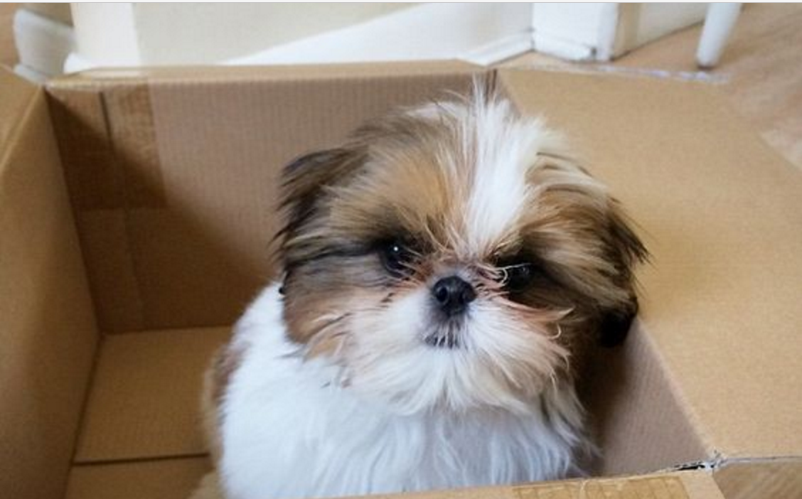 cute shih tzu in box