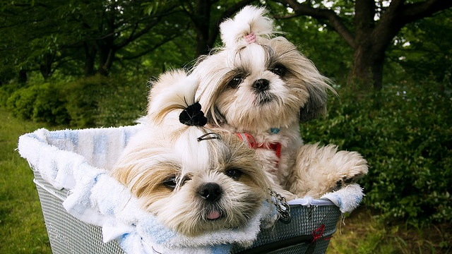 5 Tips On Caring For Senior Shihtzu Shih Tzu Daily