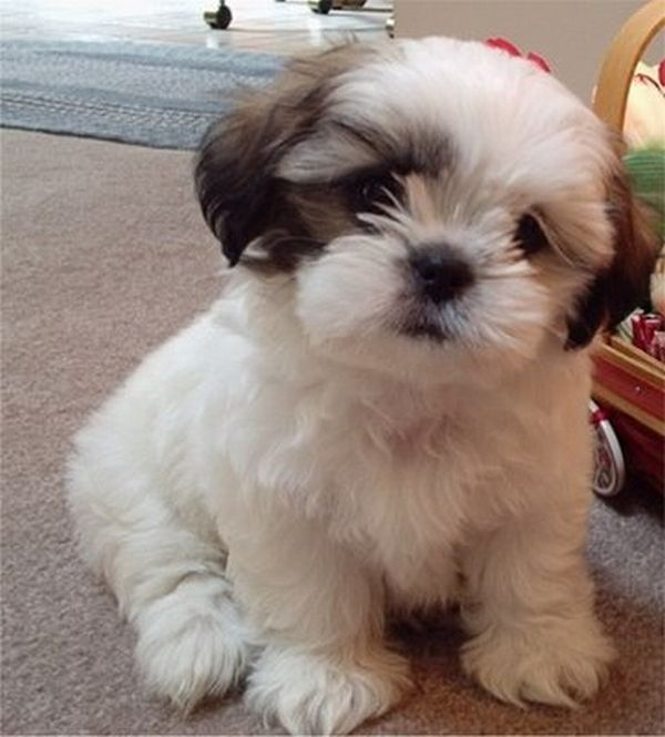 6 Problems That Only Shih Tzu Owners Will Understand Shih Tzu Daily