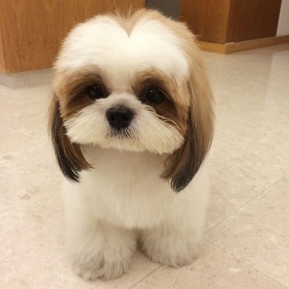 8 Diseases That You Can Get From Your Shih Tzu Shih Tzu