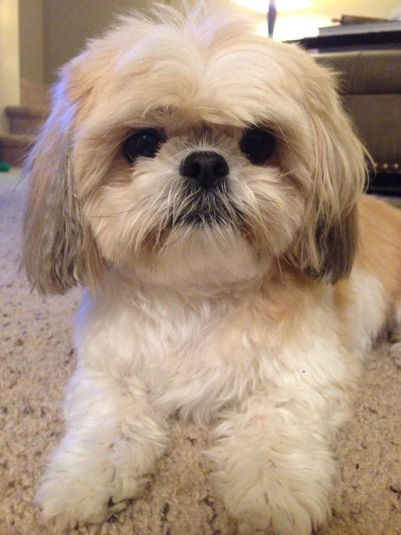 The Right Shih Tzu Haircut?