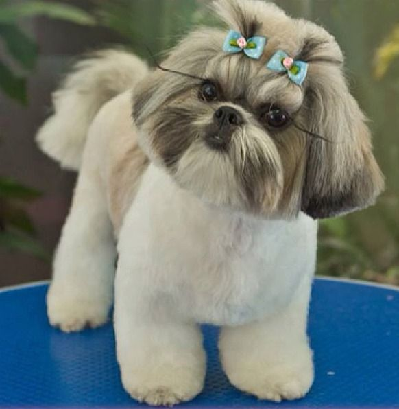 5 Tips For Grooming Your Shih Tzu Shih Tzu Daily