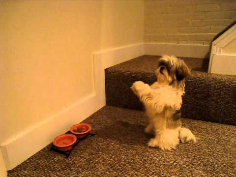 cute shih tzu tilting head