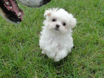 25 best Shih tzu hairstyles images on Pinterest  Fluffy