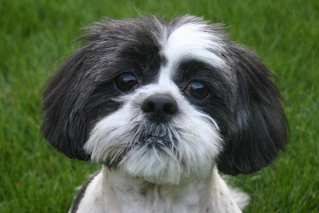 10 Mindblowing Facts About Shih Tzus You Probably Didnt Know Shih