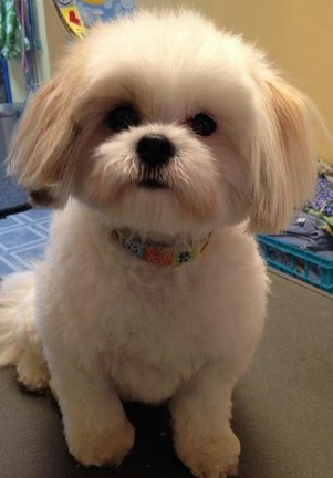 Top 6 Shih Tzu Haircuts Shih Tzu Daily