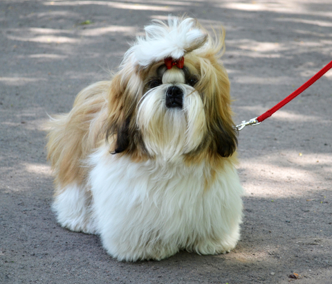 shih tzu collar tips for shih tzu leash training shih tzu daily 8225