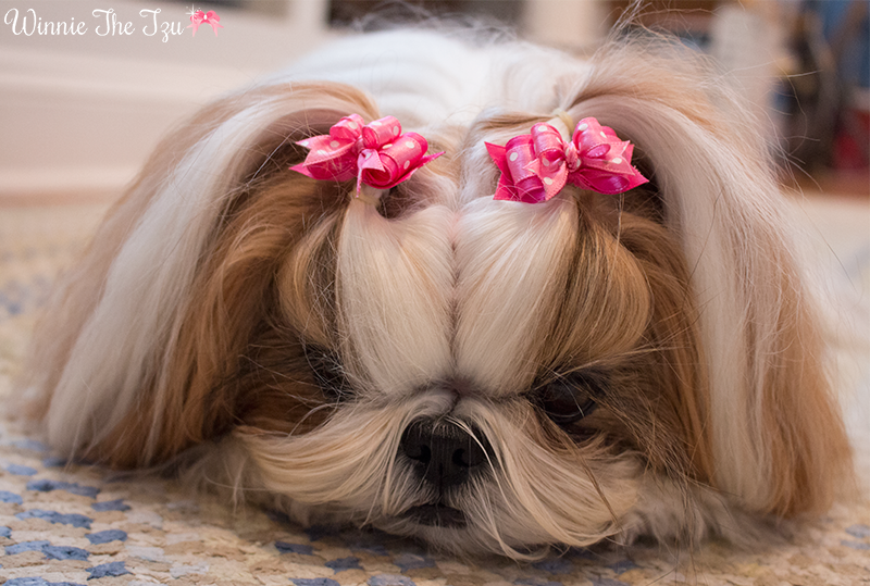 Top 35 Female Shih Tzu Dog Names Shih Tzu Daily