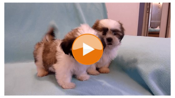 Two Adorable Shih Tzu Puppies