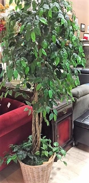 5Ft-Tall-Silk-Ficus-Tree_4762A.jpg