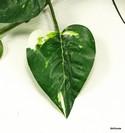 Silk-Plant_167472B.jpg
