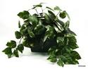 Silk-Plant_167694A.jpg