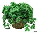 Silk-Plant_169504A.jpg