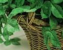 Silk-Plant_169504B.jpg