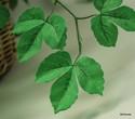 Silk-Plant_169504C.jpg