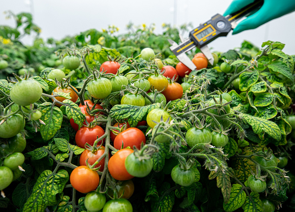 Developing Tomatoes To Grow In Space