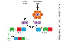 Random Gene Pulsing Generates Patterns Of Life