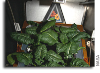 Extra Dwarf Pak Choi Plants Growing On The Space Station