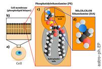 在太空中发现乙醇胺,最简单的磷脂头群