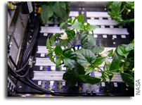 Pepper Plants Thrive Aboard The International Space Station
