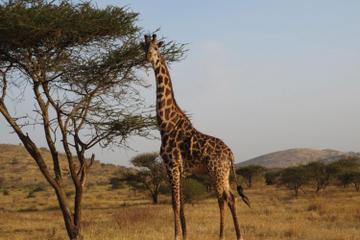 14 Day Tanzania Private Family Safari: Serengeti Ngorongoro Crater, Masai Village, Lake Manyara, Moshi and Zanzibar