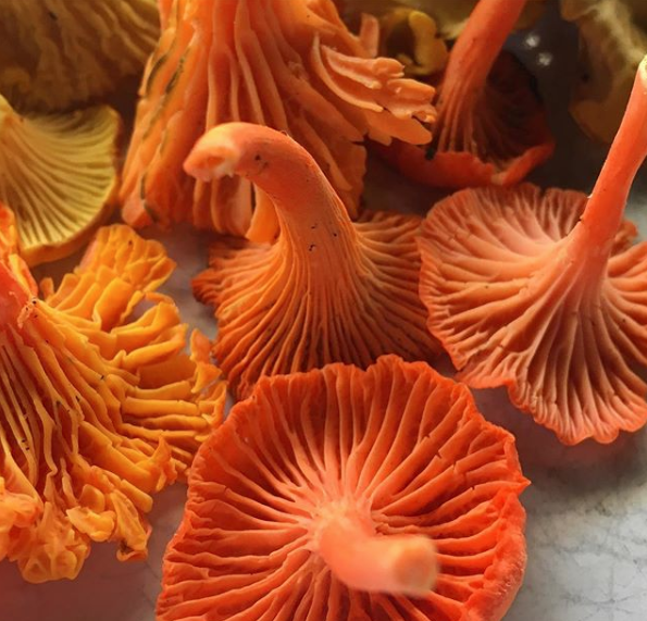 Cinnabar mushrooms (Cantharellus cinnabarinus), a smaller, more colorful subspecies of chanterelle. Cinnabars are mycorrhizal and grow abundantly around certain trees in the summer.