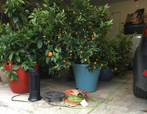 What citrus doesn't go inside is rolled into our garage, which is closed at night and kept above freezing with a space heater. *Important: This is an old picture - we now plug our space heater directly into the wall outlet to avoid overheating the extension cord or space heater, which could cause a fire. / Growing citrus in pots in any climate zone by Tyrant Farms