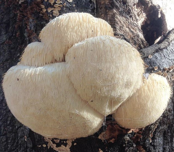 A massive lion's mane mushroom growing on a dying oak tree. Gourmet and medicinal mushrooms, by Tyrant Farms