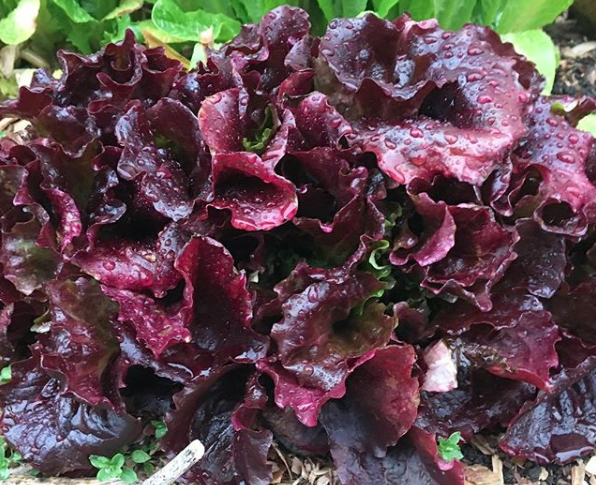 Top 10 Garden Plants For Chickens and Ducks: lettuce - A beautiful patch of young lettuce.