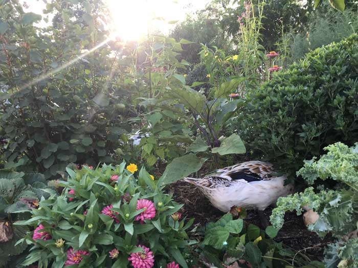 Svetlana, one of our Welsh Harlequin ducks, out for an evening forage in the garden.
