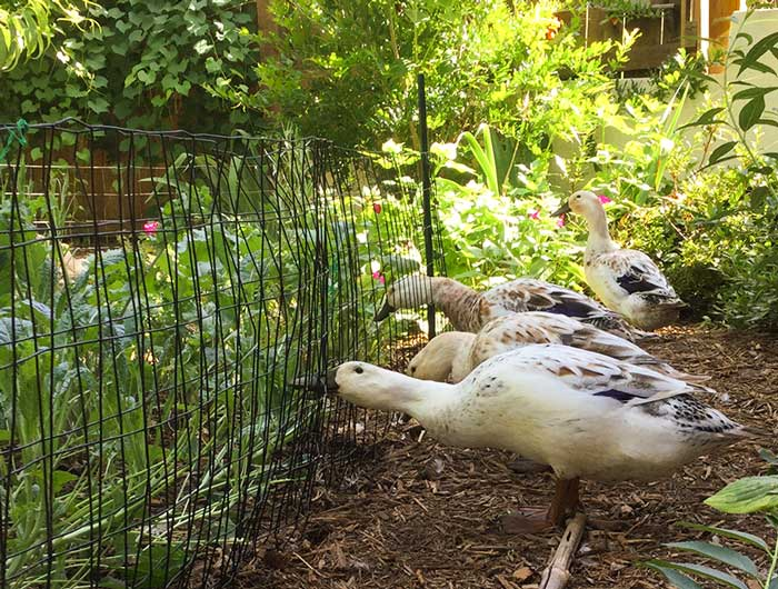 "We use temporary fencing to set up ""duck gardens"" in our back yard for our ducks. Our ducks can reach their heads in just far enough to ""trim"" the outer leaves as the plants mature. This gives them a fun activity and fresh foraged greens without allowing them to completely destroy the plants - which is what they'd do with unfettered access."