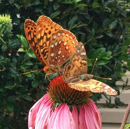 Echinacea flowers are quite popular with the pollinators! Left: Great Spangled Fritillary; right: Painted Lady.