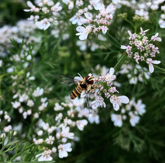 Syrphid fly pollinating cilantro flowers. Cilantro leaves are a great herb (although a small percentage of people dislike it) as are its seeds, which are sold under the name