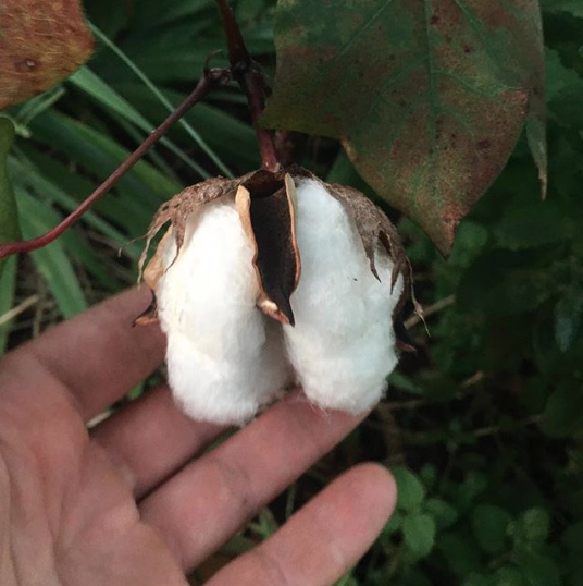 A cotton boll opening on a plant in our garden. This is a short-staple variety, so it's not ideal for making into fine cloths and sheets, but is used to make thicker textiles/fabrics like denim. It's also ideal for stuffing pillows, cotton balls, etc..