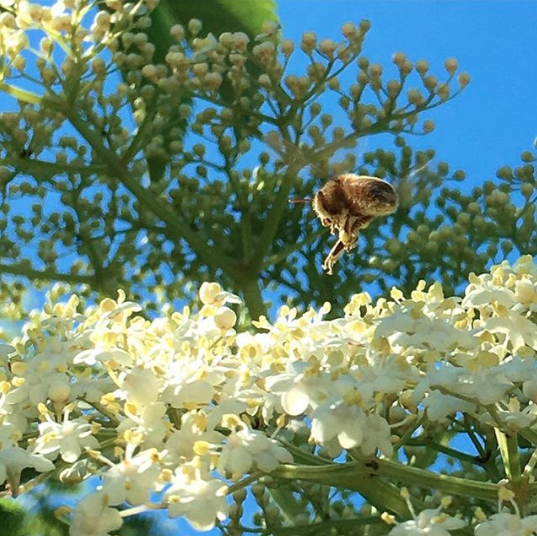 A honeybee about to land on a cluster of elderflowers.
