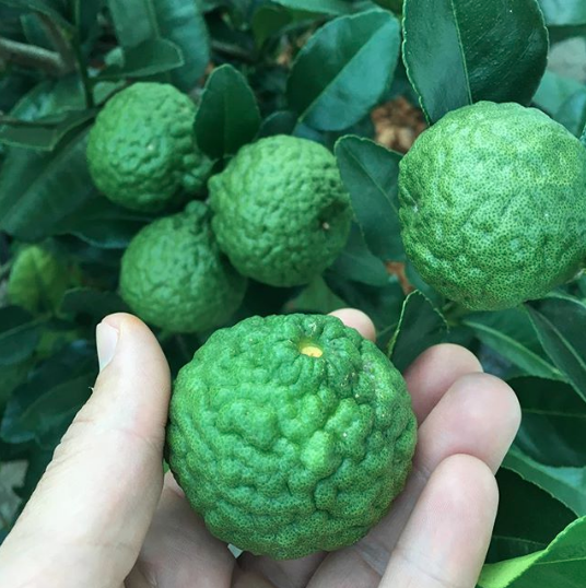 We grow lots of citrus in pots since it can't survive in our Ag zone unprotected in the winter. One interesting variety is Makrut lime, whose leaves are a popular flavoring in various Asian cuisines. The fruit has the most intense flavor of any citrus we've ever tried.