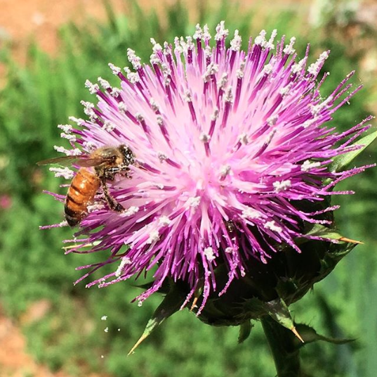 A honeybee foraging milk thistle at Tyrant Farms.