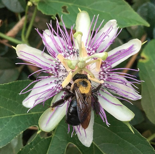 Native bees, especially carpenter and bumble bees, LOVE passion flowers.