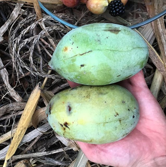 Perfectly ripened pawpaws just collected from the ground under our trees. When ripe, their skin has a wonderful, sweet fragrance. It's best not to pick them from the tree, but to collect them from the ground under the trees - they fall off when ripe.