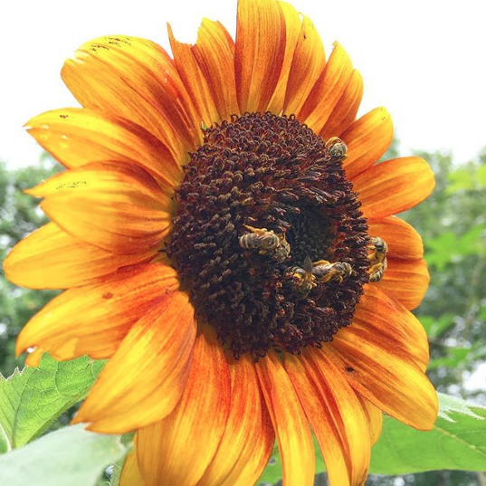 We always see piles of small native bees on our sunflowers.