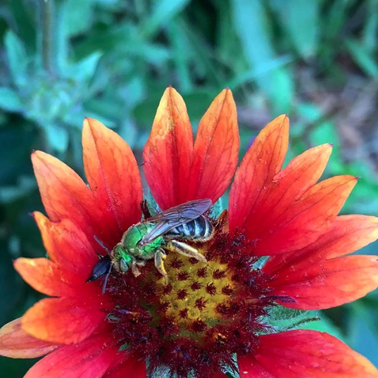 Our favorite native bee, just because they're so dang pretty: metallic green bee (Agapostemon splendens). This is a male; the females' whole body is bright green, because women just know how to wear it better. This one is foraging a red velvet queen sunflower.
