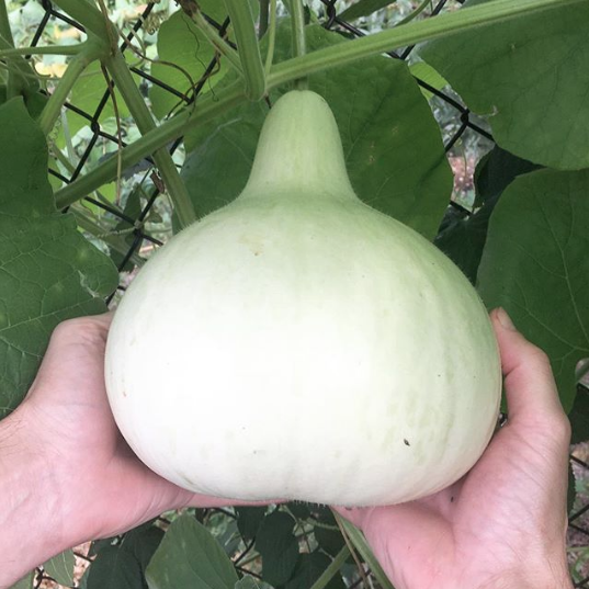 A nice birdhouse gourd starting to ripen to maturity on the vine.