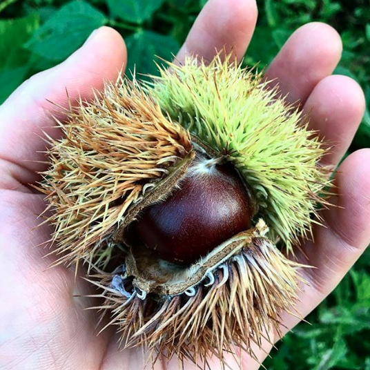 Our first chestnut! This was three years in the making. Chestnuts are wind-pollinated and need a second tree close by, ideally within 200 feet.