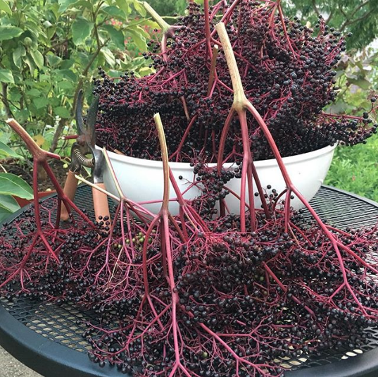 One night's harvest from three elderberry bushes. As you can see, these plants produce a ton of berries!