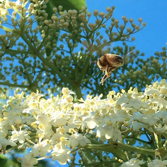 A bee making a landing on elderflowers.