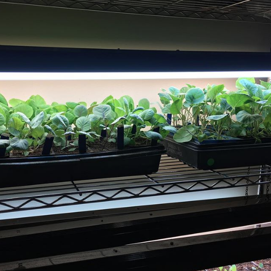 Our heat-sensitive fall & winter seedlings growing under our grow lights indoors in July. We're transplanting these outdoors now in mid-late September. This DIY grow light system also works great for growing winter salad greens in really cold winter climates.