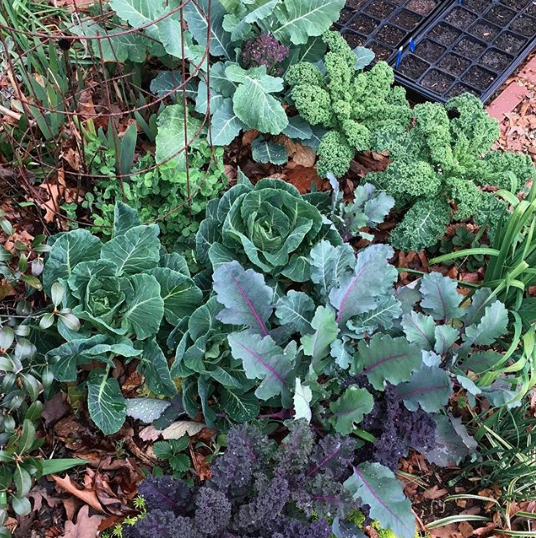 A winter garden bed with kale, broccoli, Austrian winter peas, and Brussels sprouts. -5 ways to grow a fall and winter garden