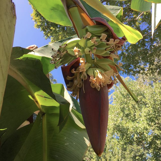 Banana inflorescence with male and female flowers. Isn't this beautiful?! - How to grow organic bananas