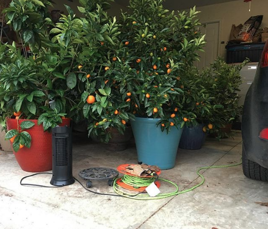Our garage gets filled with potted citrus plants on nights when sub-freezing temps come through. The extra effort for piles of fresh organic citrus straight off the tree is so worth it though!